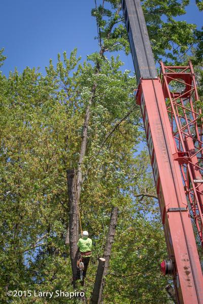 a tree worker climbs a tree