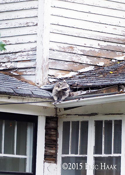 a raccoon scurries from an abandoned house
