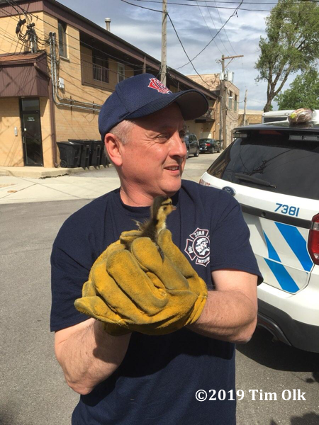 firefighter with duckling rescue from a sewer