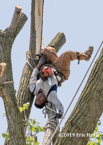 injured tree worker dangling upside down from a tree